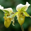 Green lady slipper (orchid) — Stock Photo
