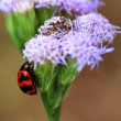 Stock Photo: Ladybird climbing purple floret