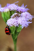 Ladybird climbing purple floret — Stock Photo