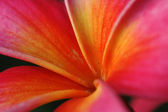 Red frangipani — Stock Photo