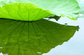 Lotus leaf with reflection — Stock Photo