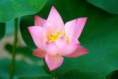Blooming of lotus flower — Stock Photo