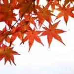 ������, ������: Maple