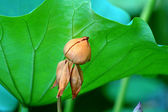 A faded lotus flower behind a large leaf — Stock Photo