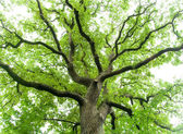 Ancient Oak Tree — Stock Photo
