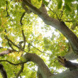 Ancient Oak Tree — Stockfoto #2971065