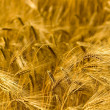 Golden Fields — Stock Photo #2971244