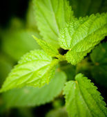 Stinging Nettle — Stock Photo