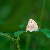 Small Butterfly — Stock Photo