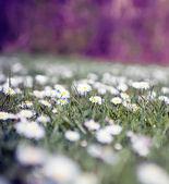 Daisies — Stock Photo