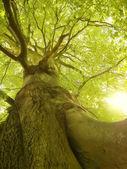 Starożytne buk drzewo — Zdjęcie stockowe