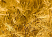Golden Fields — Stock Photo