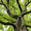 Stock Photo: Ancient Oak Tree