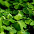 Clover — Stock Photo #2985943