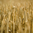 Stubble Field - Stock Photo