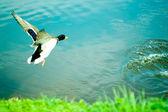 Landing Duck — Stock Photo