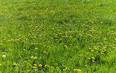 Dandelion Meadow — Stock Photo