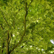 Robinia Tree — Stock Photo