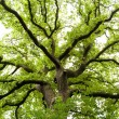 Ancient Oak Tree - Stock Photo