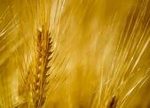 Golden Fields — Stock Photo