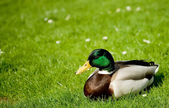 Relaxing Duck — Stock Photo