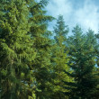 fir trees — Stock Photo