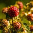 Raspberries — Stockfoto #3064209