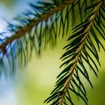 Fir Branches — Stock Photo