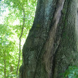 Stock Photo: Ancient Beech Tree