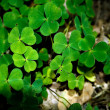 Stock Photo: Clover Plants