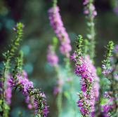 Lythrum Salicaria — Stock Photo