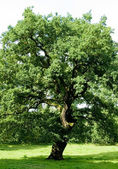 Ancient Oak Tree — Foto de Stock