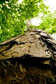 árvore de faia — Fotografia Stock