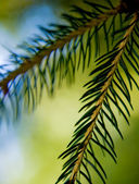 Fir Branches — Stock Photo