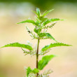 Stinging Nettle — Stock Photo #3079631
