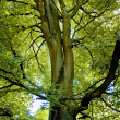 Stock Photo: Beech Treetop