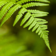 Fern — Stock Photo #3079702
