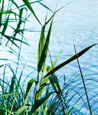 Reed Plants — Stock Photo