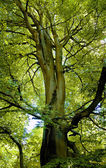 Beech Treetop — Stock Photo