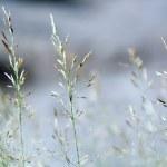 Flowering Grass — Stock Photo #3100421