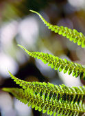 Spotted Fern — Stock Photo