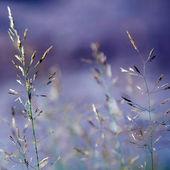 Flowering Grass — Stock Photo