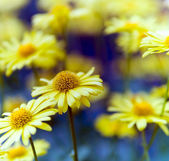 Detail of a flowering arnica plant. — Stock Photo