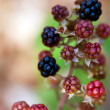 Stock Photo: Black Raspberries