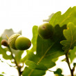 Acorns — Stock Photo #3118412