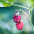 Raspberries — Stock Photo #3118427