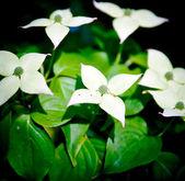Detail of small white cornus flower. — Stock Photo
