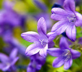 Violett Flowers — Stock Photo