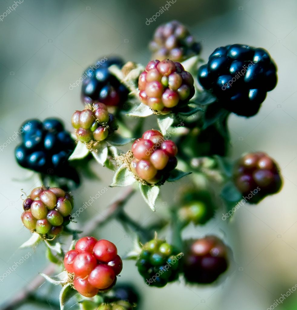 Detail of some wild growing delicious black raspberries.  Stock Photo #3118402