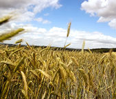 Rye Fields — Stock Photo